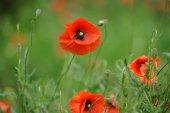 Field of bright red corn poppy flowers — Stock Photo