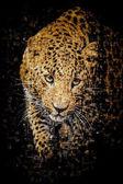 Many photographs of leopard — Stock Photo