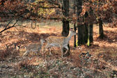 Whitetail Deer standing in autumn day — Stock Photo