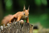 Squirrel with nuts — Stock Photo