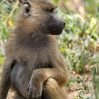 Olive baboon in Masai Mara National Park of Kenya — Stock Photo #79041500