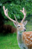 Whitetail Deer standing in summer wood — Stock Photo