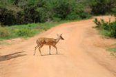 Wild Spotted deer — Stock Photo