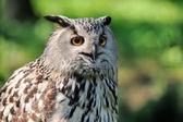 Close-up owl — Stock Photo