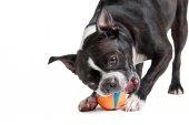 Boston Terrier dog playing with orange ball — Stock Photo