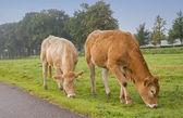 Krowa na łące — Zdjęcie stockowe