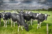 Koe in een weide — Stockfoto