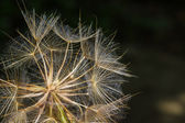Macro view of some dandelion seeds. — Stock Photo