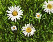 Daisywheels in the grass — Stock Photo