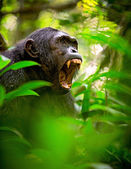 Screaming wild chimpanzee — 图库照片