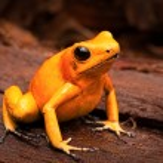 Poisonous frog — Stock Photo #60291021