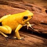 Poisonous frog — Stock Photo #60291065