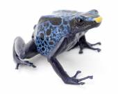 Blue poison frog — Stock Photo