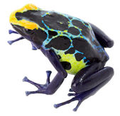 Poisn arrow frog — Stock Photo