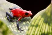 Strawberry poison arrow frog — Stock Photo