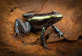 Tropical poison frog — Stock Photo