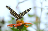 Feeding butterfly — Stock Photo
