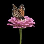 Farfalla monarca su zinnia rosa — Foto Stock