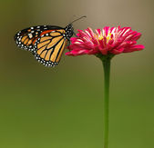 Monarch Butterfly on Red Zinnia — Foto Stock