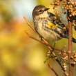Female Yellow-Rumped Warbler — Stock Photo #57009801