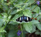 Sara Longwing Butterfly — Stock Photo