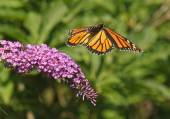 Monarch in Motion — Stock Photo