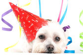 Celebration Party Pooch — Stock Photo