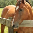 Chestnut horse in field — Stock Photo #64556643