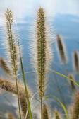 Pennisetum alopecuroides ornamental grass — Stock Photo