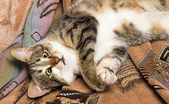 Cat lies on her back — Stock Photo