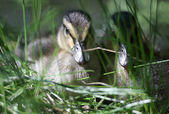 Ducklings 2 — Stock Photo