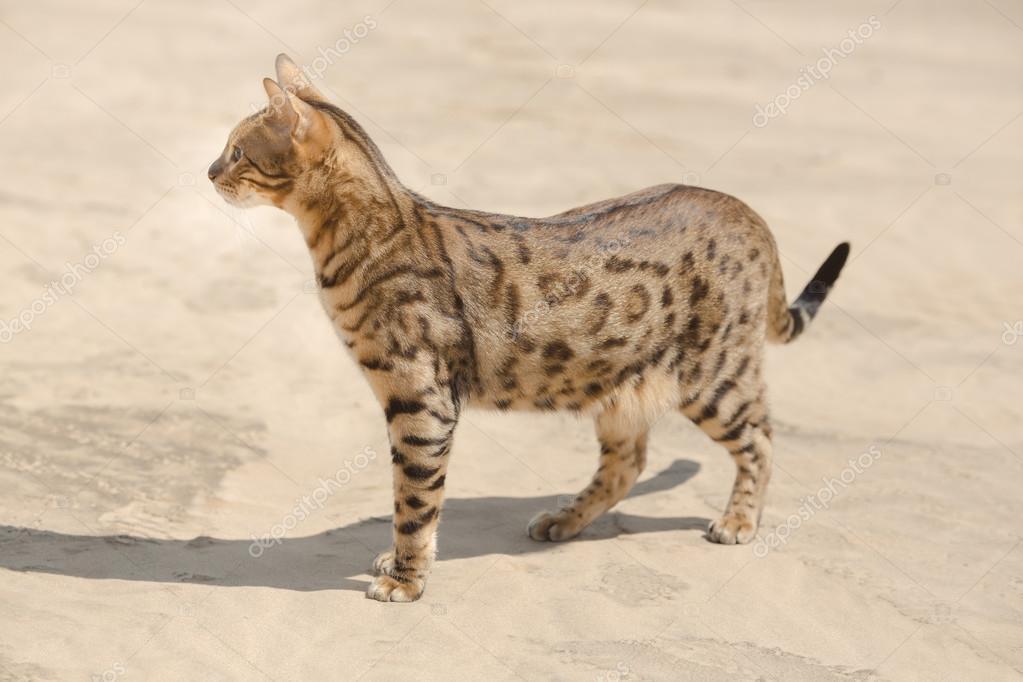 Gatto savannah nel deserto foto stock dimabl 107525404 for Piani di fattoria di 2000 piedi quadrati