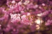 Beautiful pink cherry blossom flower at full bloom. Sakura — Foto de Stock
