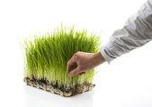 Man Picks Homegrown Wheatgrass — Stock Photo