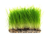 Nutritious Tray Of Homegrown Wheatgrass — Stock Photo