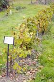 Vineyard, Germany — Stock Photo