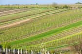 Spring vineyards, Southern Moravia, Czech Republic — Stock Photo
