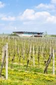 Vineyard called Sonberk, Czech Republic — Stock Photo