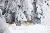 Sledge dogging, Sedivacek''s long, Czech Republic — Stockfoto