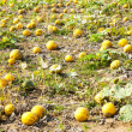Pumpkins on the field — Stock Photo