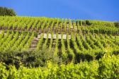 Vineyards near Ribeauville, Alsace, France — Stock Photo
