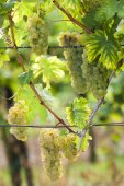 White grapes in vineyard, Southern Moravia, Czech Republic — Stock Photo