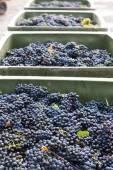 Wine harvest, Southern Moravia, Czech Republic — Stock Photo