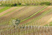 Spring vineyards, Czech Republic — Stock Photo