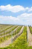 Spring vineyards — Stock Photo
