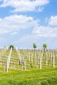 Vineyard called Sonberk — Stock Photo