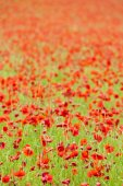 Meadow of poppies — Stock Photo