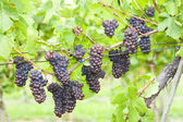 Grapes in vineyard (pinot gris), Southern Moravia, Czech Republi — Stock Photo