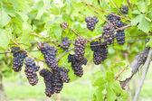 Grapes in vineyard (pinot gris), Southern Moravia, Czech Republi — Foto de Stock