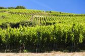 Vineyards near Ribeauville — Stock Photo
